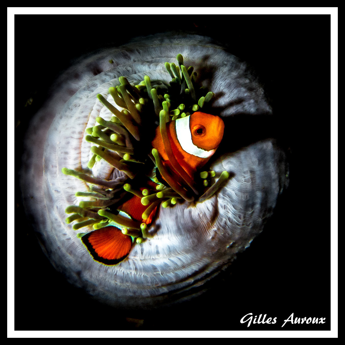 Portfolio photo sous-marine: Poisson clown dans son anémone