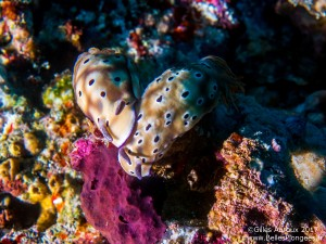 Photo plongée Komodo: Nudibranche à Cauldron