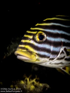 Sweetlips / Gaterin rayé à Deep six