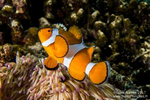 Plongée à Anilao aux Philippines: Poisson-clown à trois bandes (Amphiprion ocellaris) à Cathedral
