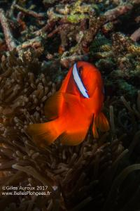 Plongée à Anilao aux Philippines: Poisson-clown tomate (Amphiprion frenatus) à Cathedral