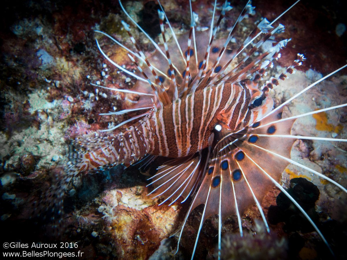Plongée en Thaïlande : Rascasse (Pterois antennata) à Honeymoon Bay