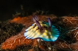 Photo sous marine: Portfolio Gilles Auroux - nudibranches