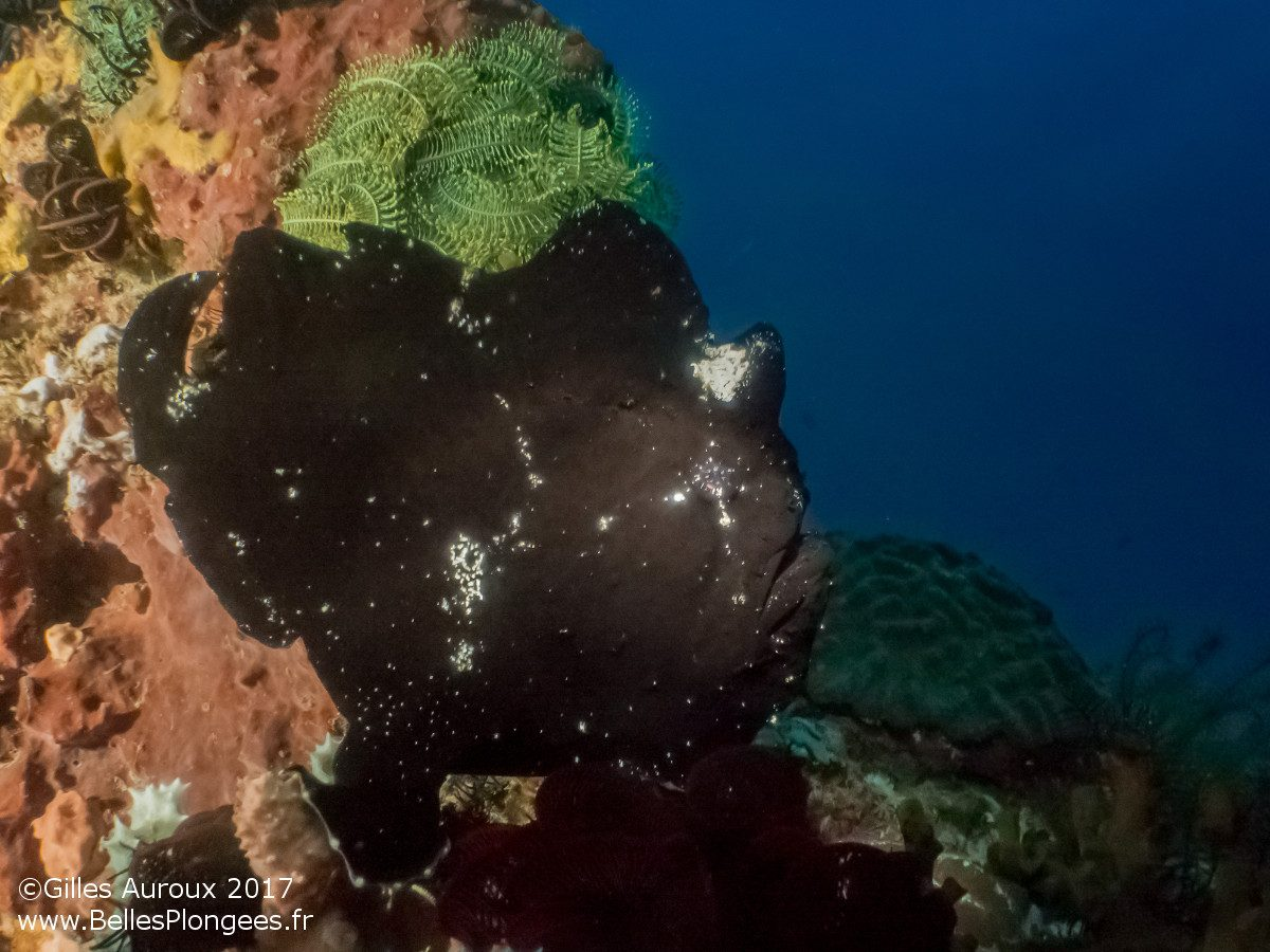 Plongée à Anilao aux Philippines: Antennaire / Frogfish (Antennarius sp.) à Elmar's point