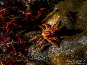 Photo de plongée à Komodo: Crabe à Cannibal Rock