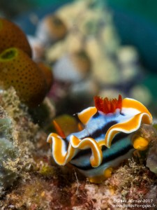Photo plongée à Komodo: nudibranche (chromodoris quadricolor) à Seraya kecil