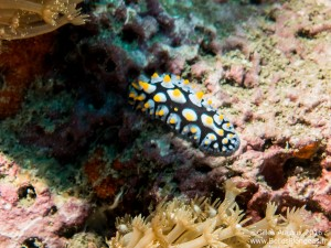 Nudibranche (Phyllidia varicosa) à Lighthouse sur Koh Tao