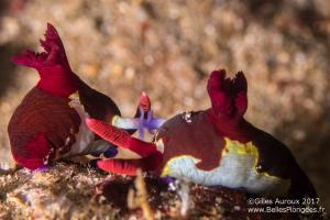 Plongée à Anilao aux Philippines: Reproduction de nudibranches (Nembrotha purpureolineata) à Arthur's rock