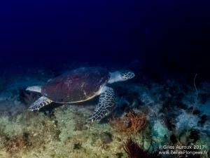 Plongée à Anilao aux Philippines: Tortue à Elmar's point
