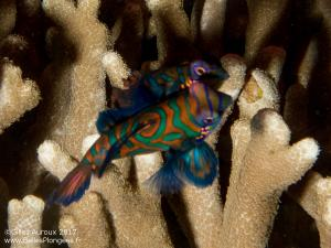 Plongée à Anilao aux Philippines: Poisson-mandarin (Synchiropus splendidus) à Mandarin point